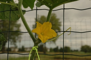 Cucumber Flower - by Emily Larson